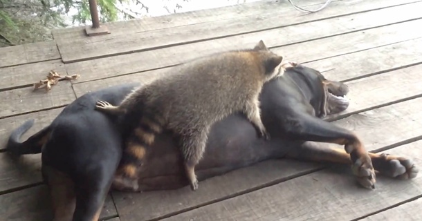 Raccoon And Dog Make For An Odd Pair